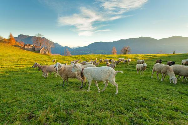 Козы и овцы - реальные друзья человека