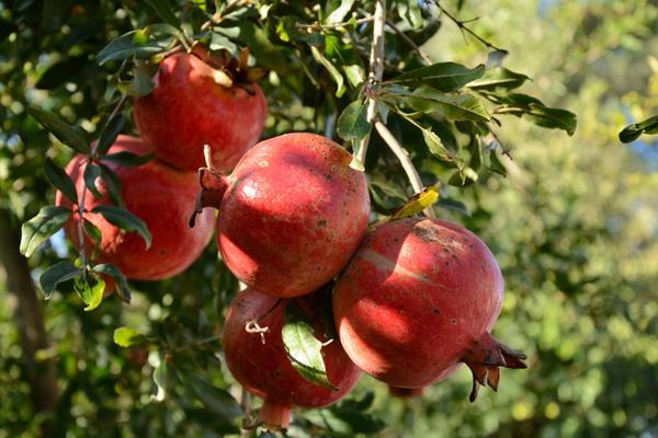 Спелые плоды граната