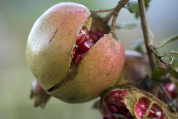 Пересушивание почвы вызывает растрескивание плодов граната