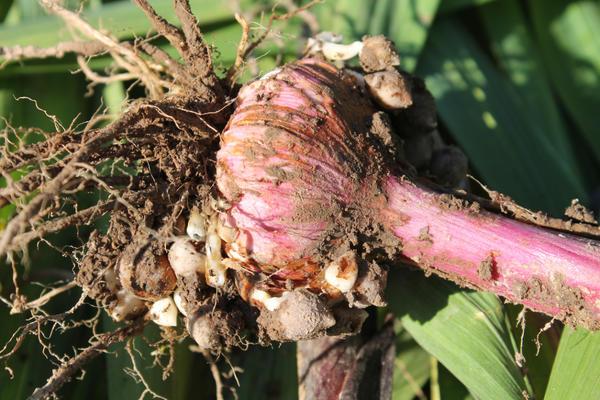 Выкопайте клубнелуковицы гладиолусов, стряхните с них землю и хорошо просушите