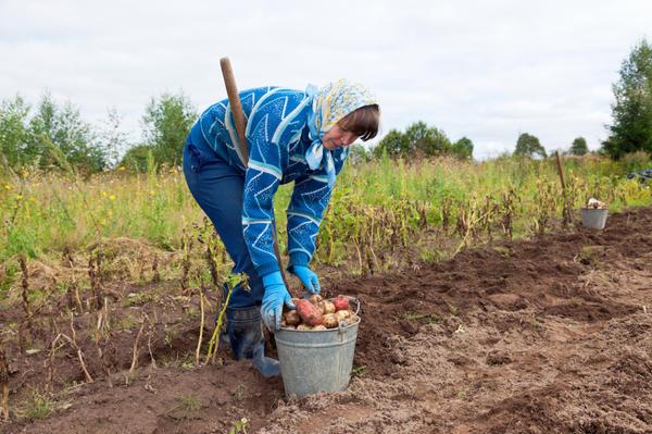 В советское время под словом дача стали подразумевать труд в огороде