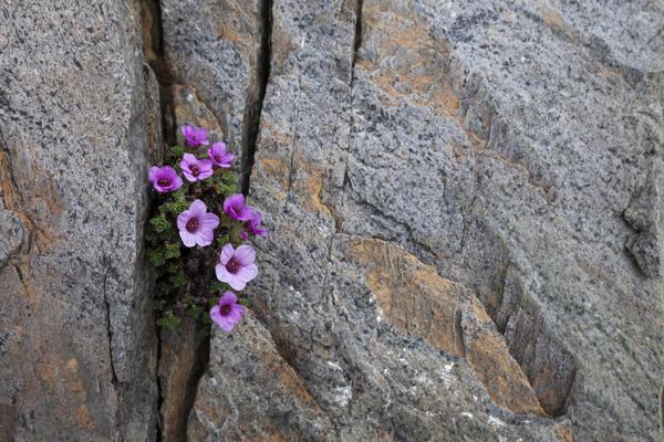 Камнеломка в расщелине скалы