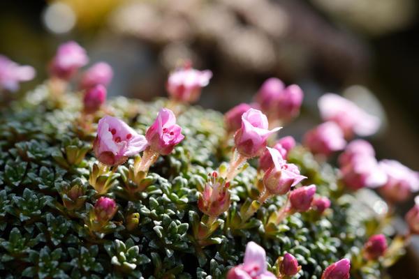 Камнеломка с розовыми цветками
