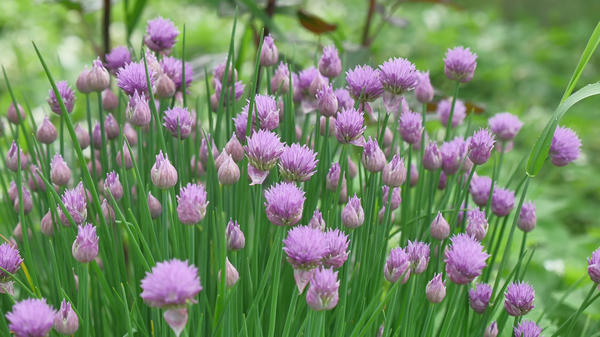 Шнитт-лук в период цветения
