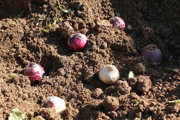 Садовые цветы гиацинты: посадка и уход в открытом грунте | 400x600