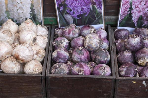 Луковицы гиацинтов на рынке