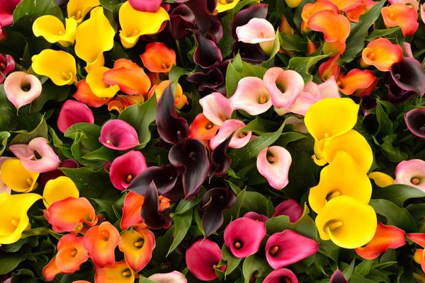 Соцветия каллы могут иметь самую разнообразную окраску