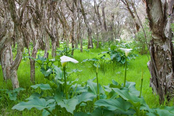 В природе каллы предпочитают расти в болотистых местах