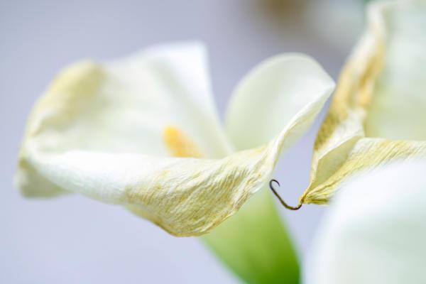Увядающие соцветия необходимо удалять