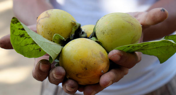 Плоды можно снимать раньше нужного срока, они дозреют в лежке, но качество будет хуже