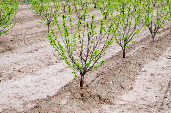 Молодые деревья хурмы