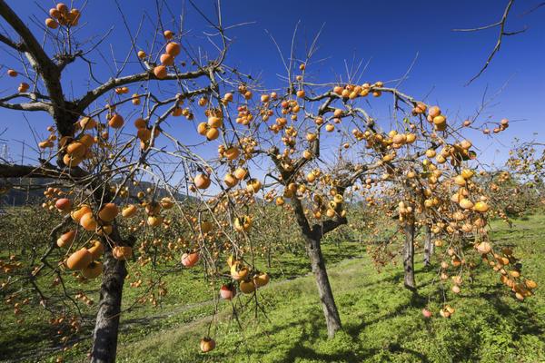 Урожайность хурмы зависит от множества факторов