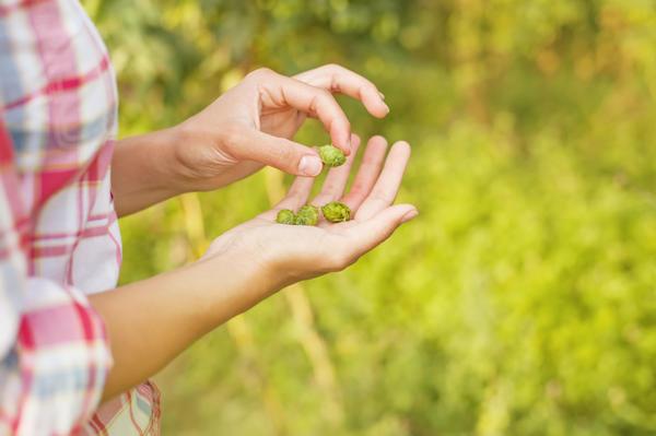 Соплодия хмеля - ценное лекарственное сырье