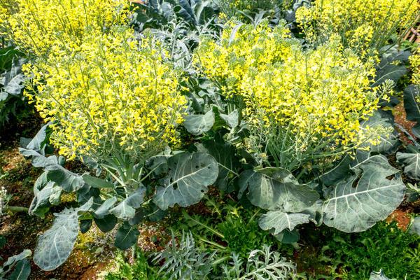 Капуста декоративная на второй год выпускает цветоносы и дает семена