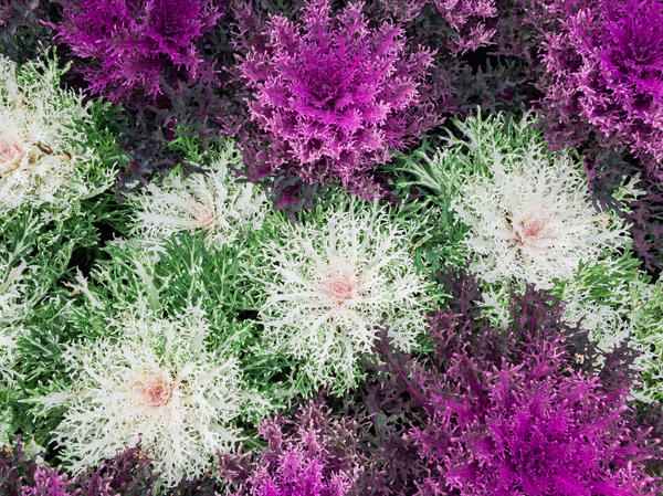 Листья брассики могут иметь различную форму и окраску