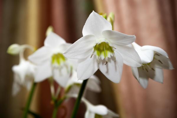 Эухарис - одно из самых популярных декоративных растений