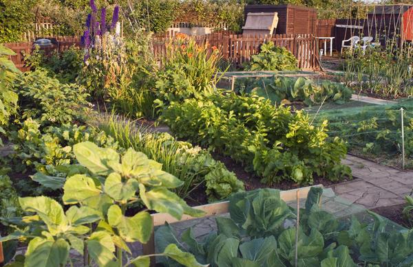 Каждый год на огороде растут все овощные культуры, но они ежегодно меняются местами