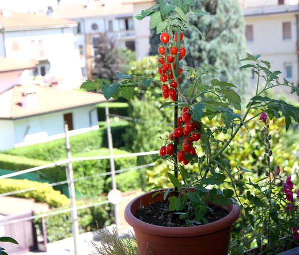 Опытные огородники на подоконниках и балконах и помидоры, и огурцы выращивают