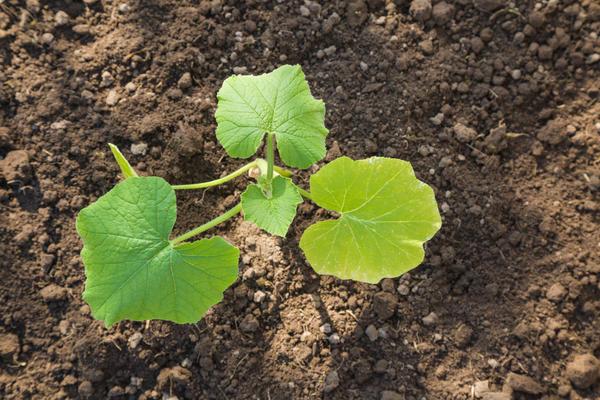 Потребность растений в питании различна в зависимости от культуры и фазы развития