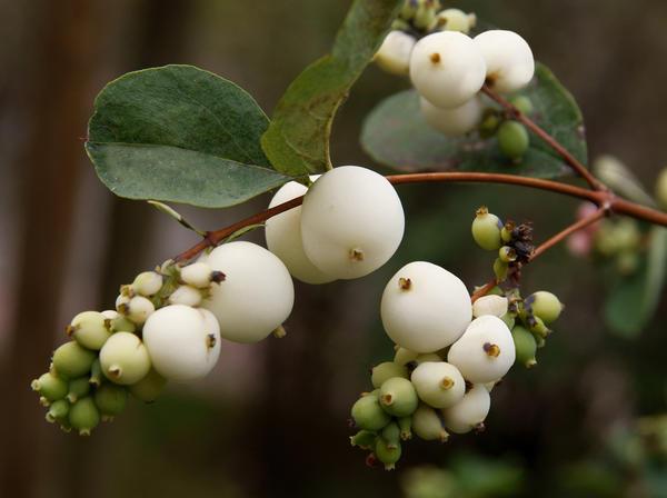 Снежноягодник - засухоустойчивое растение