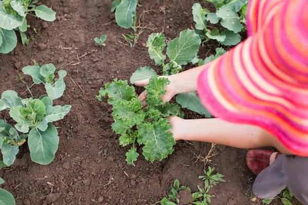 Рассаду кале высаживают на грядку в середине или конце мая