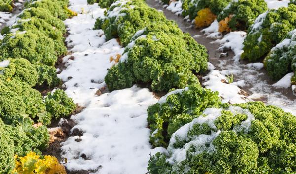 Кудрявая капуста - морозостойкое растение