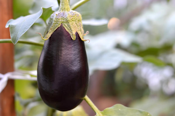 Когда баклажан созреет, его цвет поменяется с фиолетового на коричневый - тогда его можно будет снимать на семена