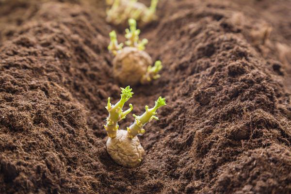 Некоторые овощные культуры преимущественно размножают вегетативными частями, а не семенами