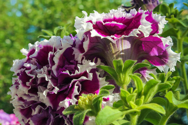 Чтобы вырастить такую красоту, нужно покупать свежие семена от надежного производителя