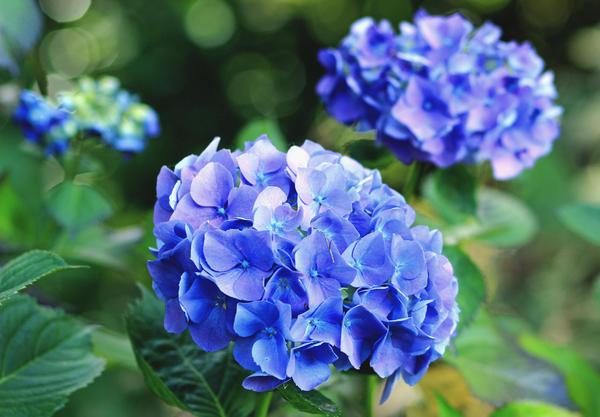 Изменить окраску соцветий гортензии помогут специальные добавки