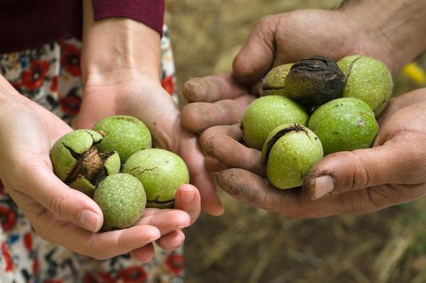 Собирать орехи нужно тогда, когда внешняя зеленая оболочка начинает трескаться