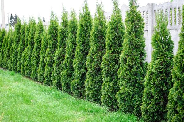 В наших садах туя достигает максимум 10-11 метров в высоту