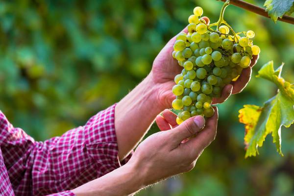 Виноград теперь растет не только на юге