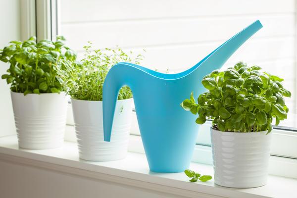 Уход за домашним огородом практически не отличается от ухода за комнатными цветами