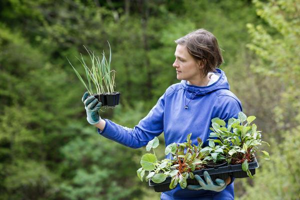 Порей выращивают рассадным способом