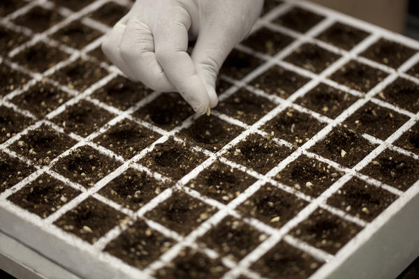 Сроки посева на рассаду в разных регионах различаются
