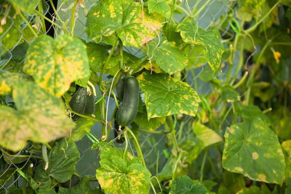 Содата ще предотврати ранното пожълтяване на краставиците
