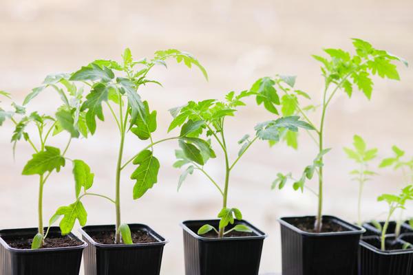 Сеянцы томатов при пикировке заглубляют по семядоли