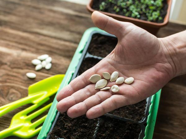 При выращивании рассады очень важно качество семян