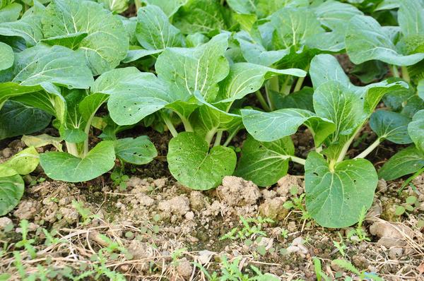 Для защиты от повреждений крестоцветной блошкой, как на этом фото, нужно опудривать посадки смесью табачной пыли и древесной золы