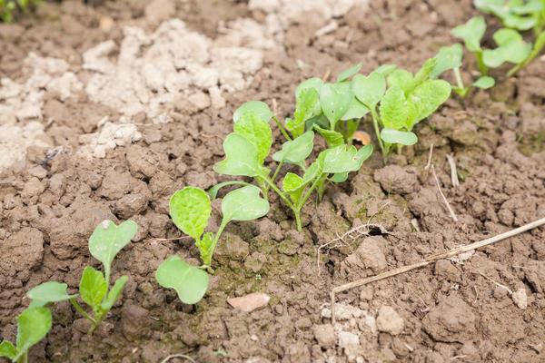 В фазе 1-2 настоящих листьев всходы необходимо проредить