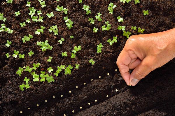 Семена лучше высевать небольшими порциями с интервалом 7-10 дней