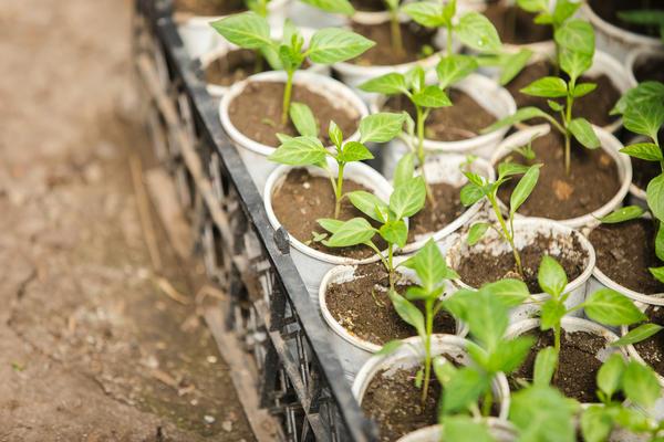 Рассаду выращивают в различных емкостях, с пикировкой или без