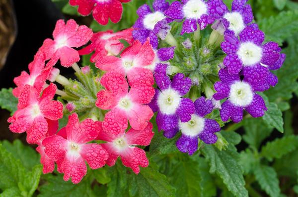 Регулярный полив необходим в период активного роста и цветения вербены