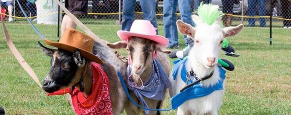 Козы на козьем параде. Фото с сайта buzzebly.com
