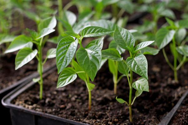 Чтобы вырастить качественную рассаду перца и баклажана, надо соблюдать технологию