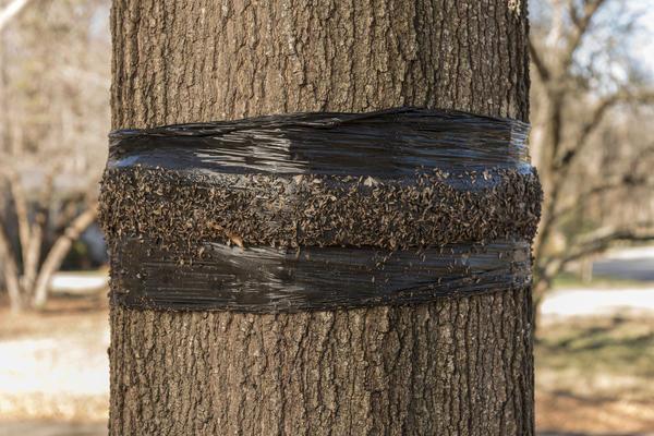 Ловчий пояс - эффективная защита от вредителей
