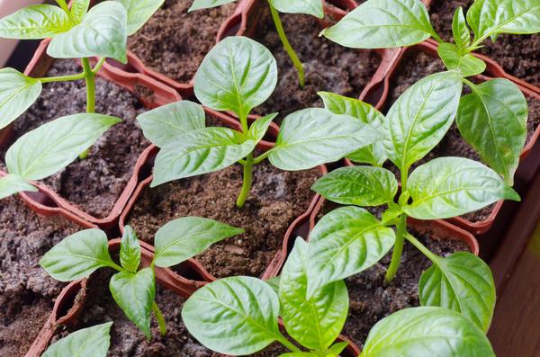 Для получения хорошего урожая необходимо вырастить здоровую рассаду