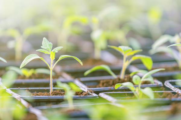 Рассаду необходимо разместить так, чтобы соседние растения не смыкались
