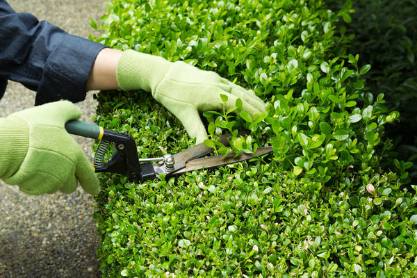Живая изгородь - зелёная стена, которая скроет всё